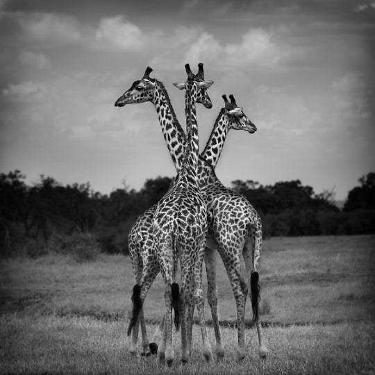 white-black-photography-animals-01