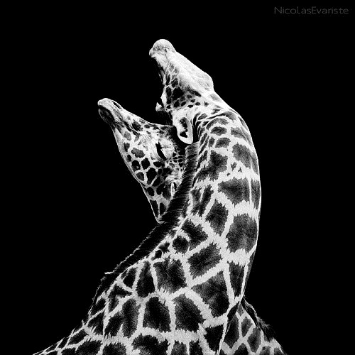 white-black-photography-animals-03